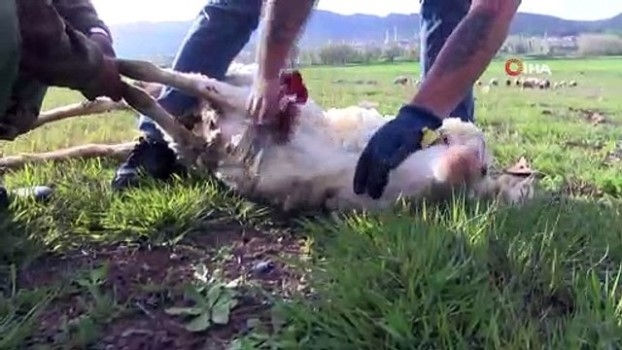 Koyunları kırktığı makineden elektrik çarptı