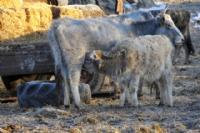 İpsala'da Boz Sığırlar Koruma Altında