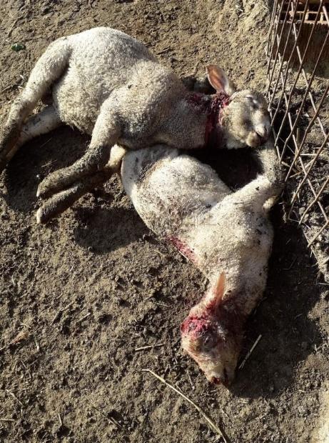 Aç Kurtlar 4 Koyunu Telef Etti