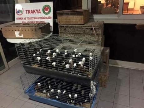 235 Adet Canlı Güvercin Yakalandı.
