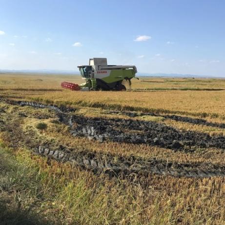 Pirincin Başkentinde Çeltik Hasadı Başladı.